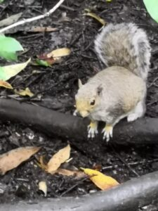 Close up picture of grey squirrel wishing he could see the new website.