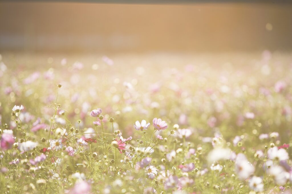 A field of white, pink, and purple summer flowers. Sharp and clear in the foreground and more blurry as they go off in the distance.